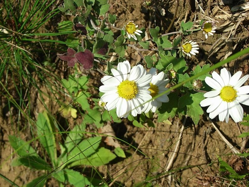 草-双子葉植物