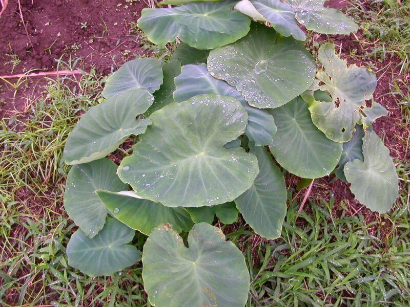 葉っぱ 里芋 の